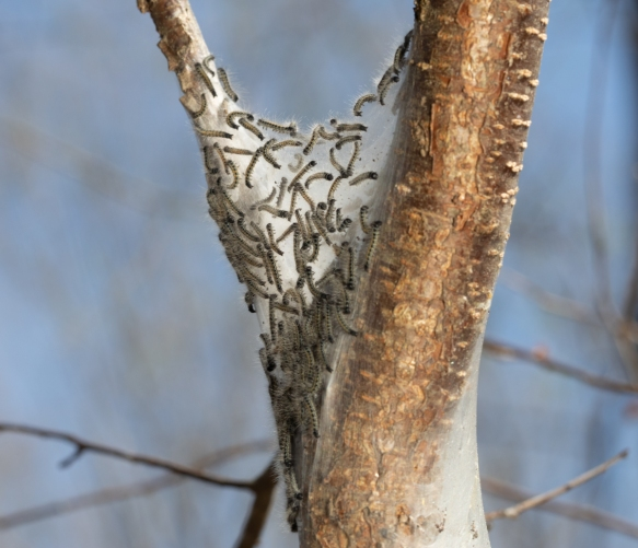 Image shows caterpillar nest with lots of caterpillars congregated on the shady side.