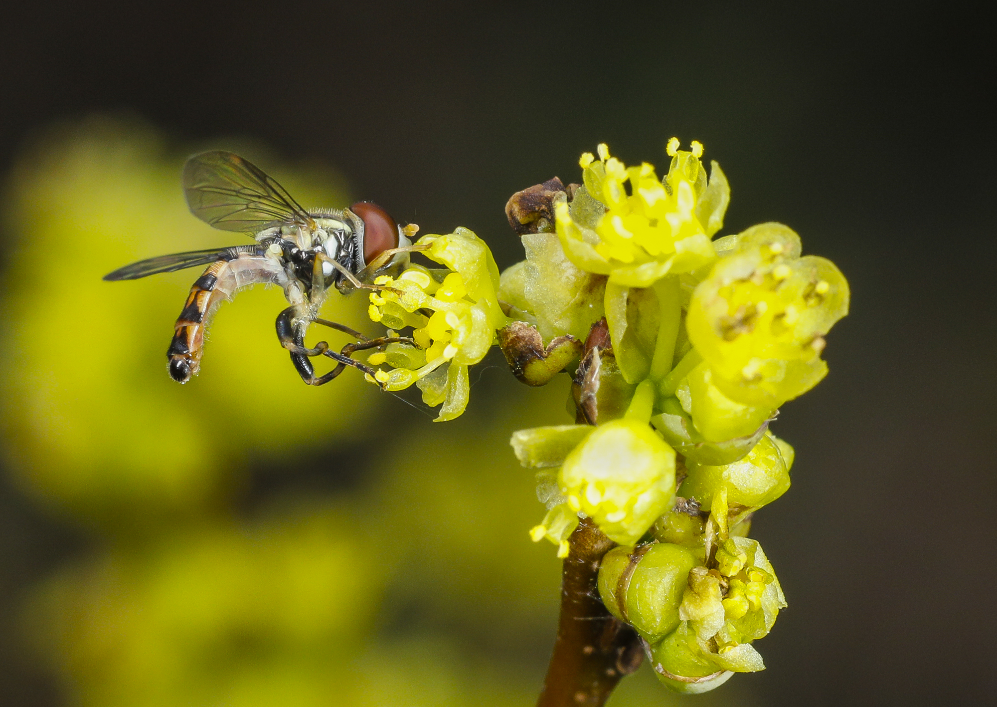 Syrphid fly on spicebush
