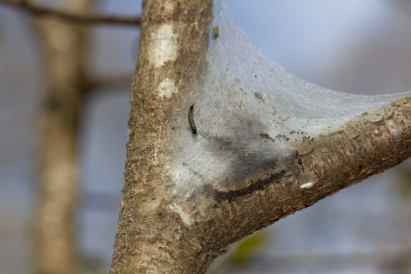 Silken nest of tent caterpillars between two tree branches with one caterpillar on surface. Dark spots near bottom are frass.