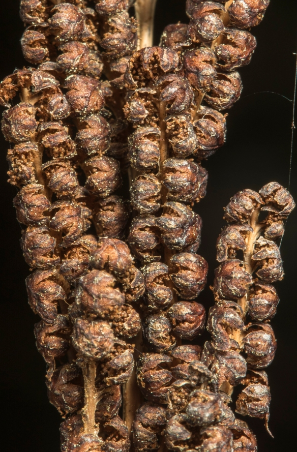 Bead-like spore containing structures on Sensitive fern