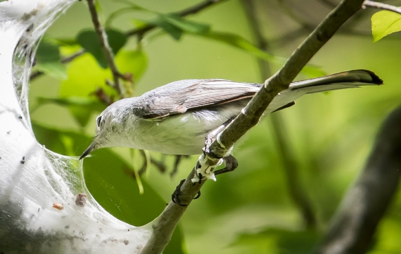 BG gnatcatcher at tent caterpillar nest 1