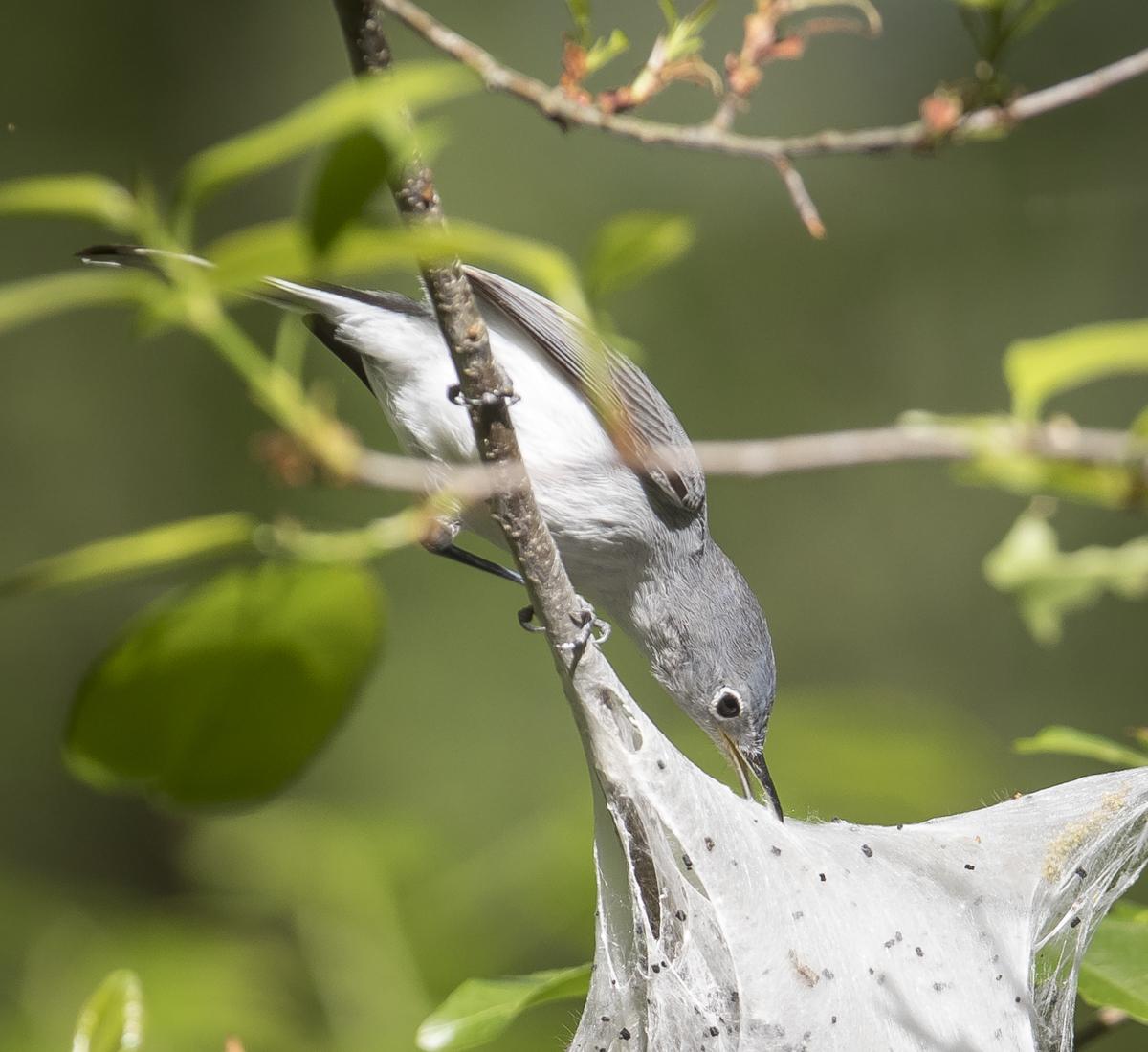 BG gnatcatcher at tent caterpillar nest 2
