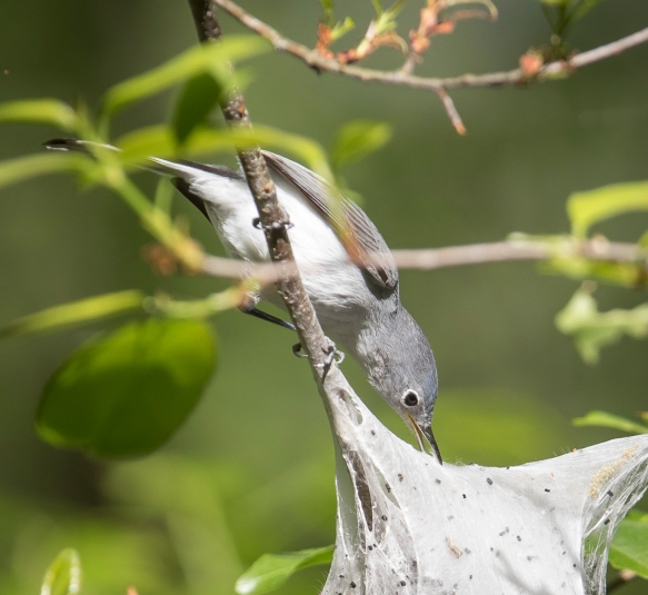 BG gnatcatcher at tent caterpillar nest 2