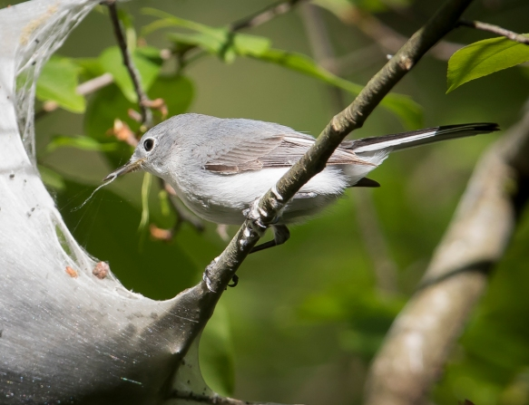 BG gnatcatcher at tent caterpillar nest 4