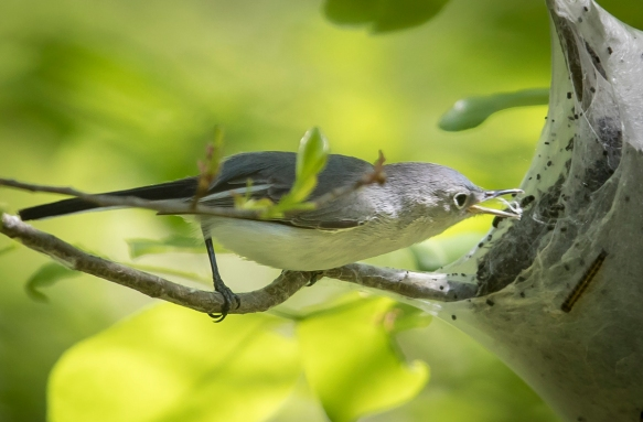 BG gnatcatcher at tent caterpillar nest