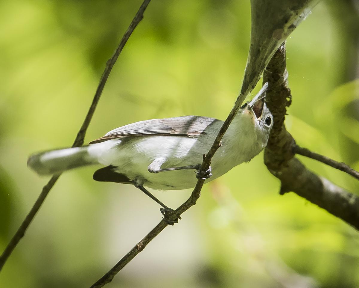 BG gnatcatcher with silk in beak