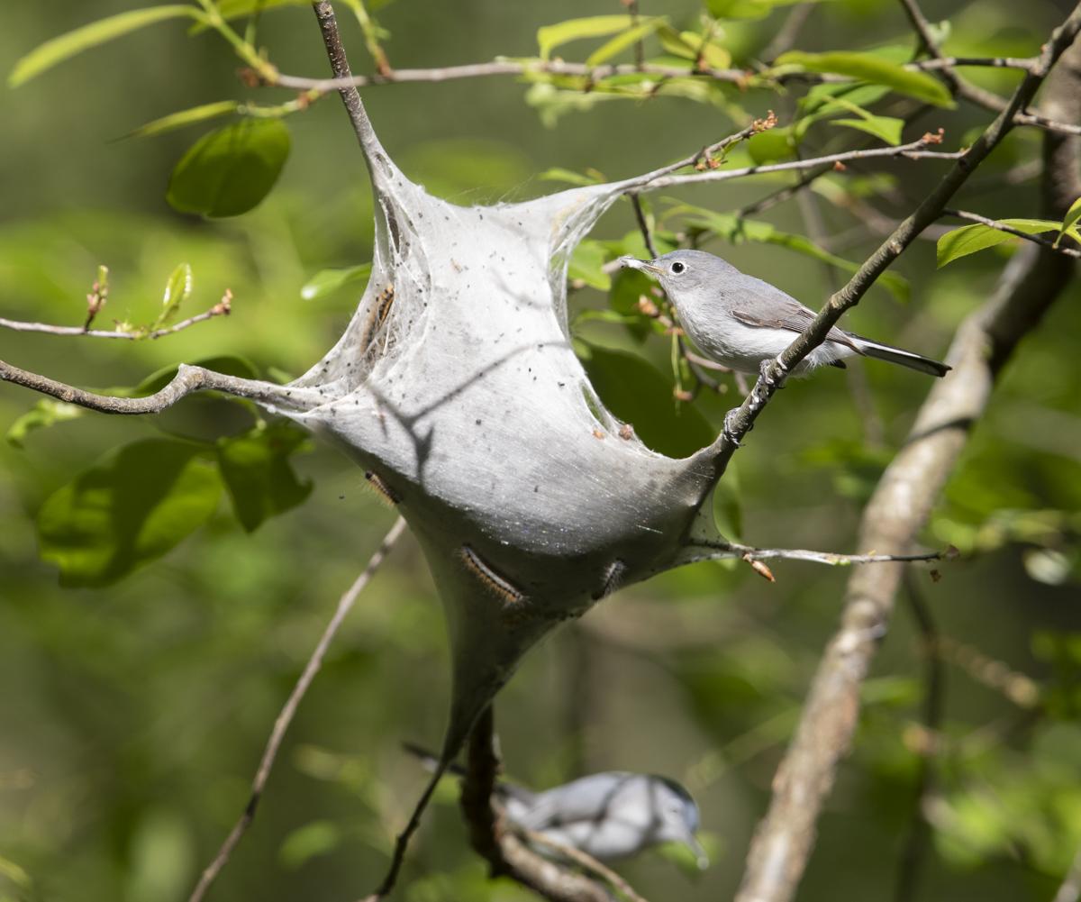 Bg gnatcatchers at tent caterpillar nest