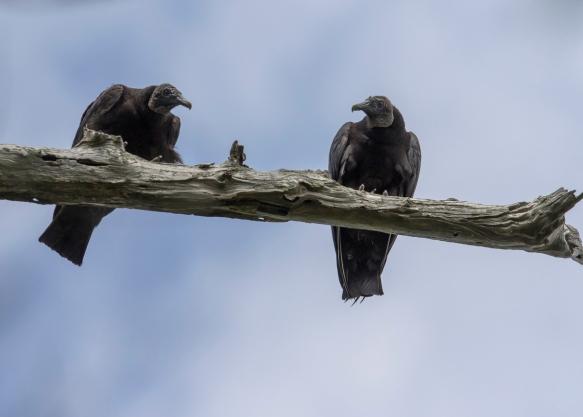 Black vultures at platform