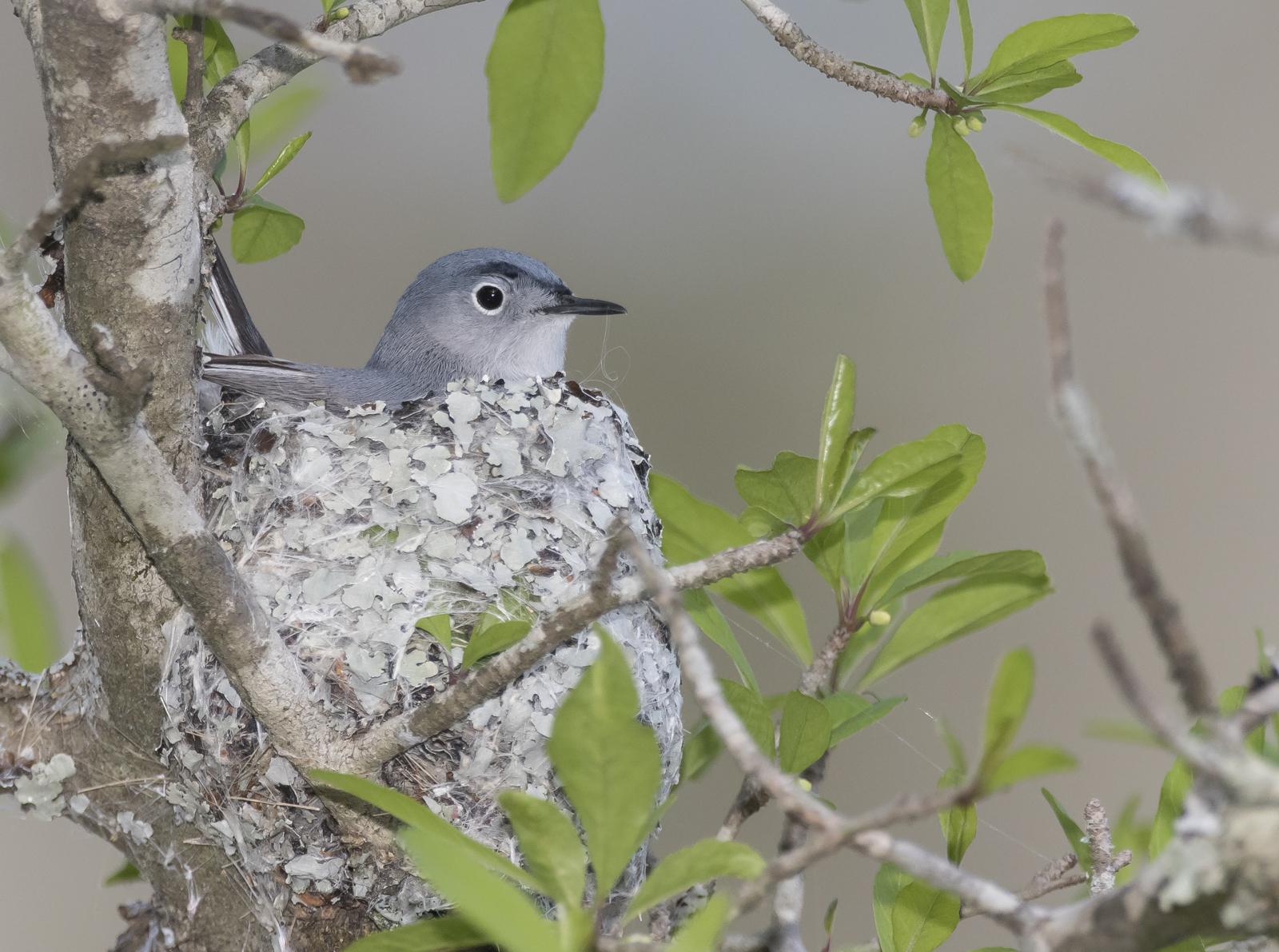 Blue-gray gnatcatcher in nest 2