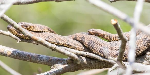 Brown water snakes in tree