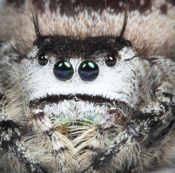 canopy jumping spider face
