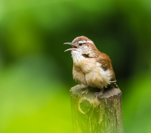 Carolina wren singing left