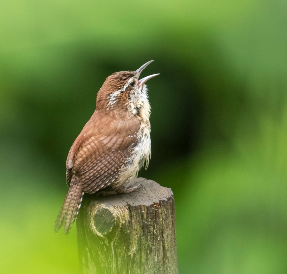 Carolina wren singing right