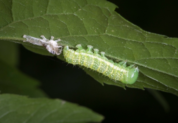 caterpillar after molting with shed skin