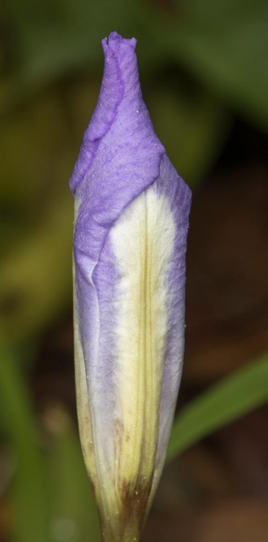 dwarf crested iris flower bud