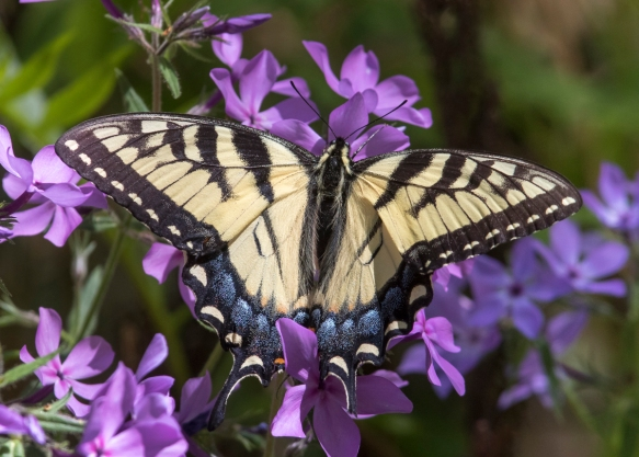 Eastern tiger swallowtail on phlox