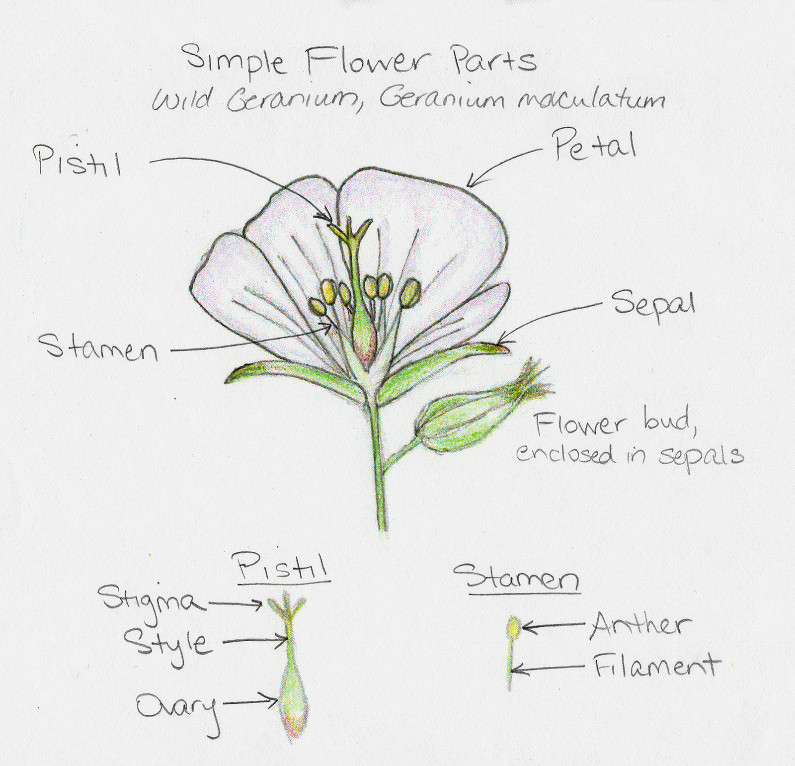 Sketch of wild geranium flower with sepals, petals, pistil, and stamens labeled.