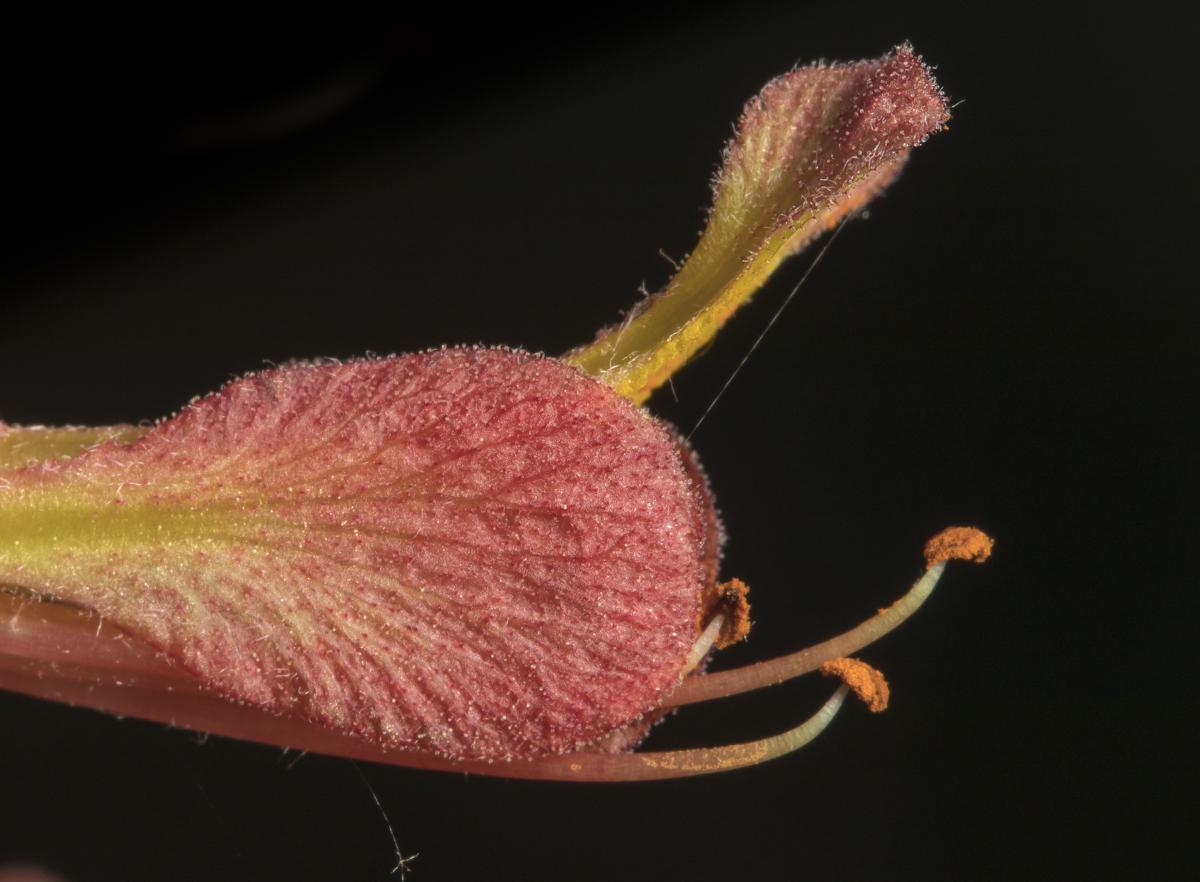 flower tip of red buckeye