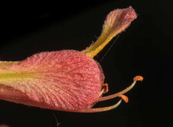 flower tip of red buckeye
