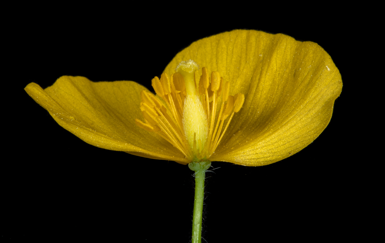 wood poppy flower form the side