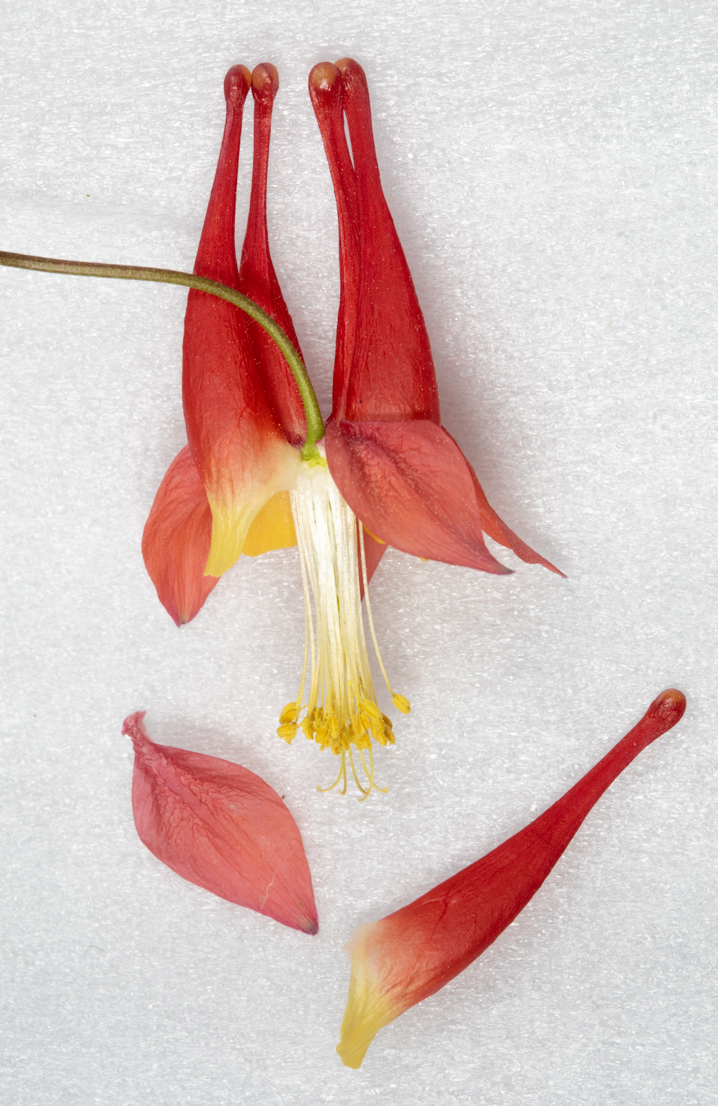Columbine flower with two outer parts removed