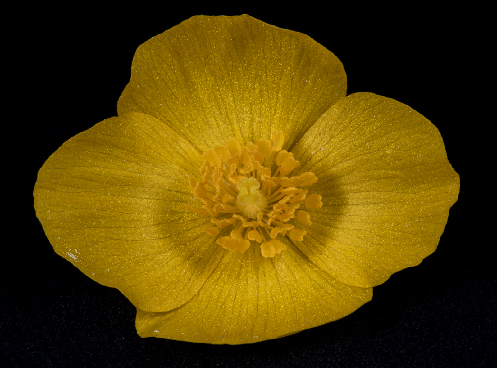 close up image of wood poppy flower