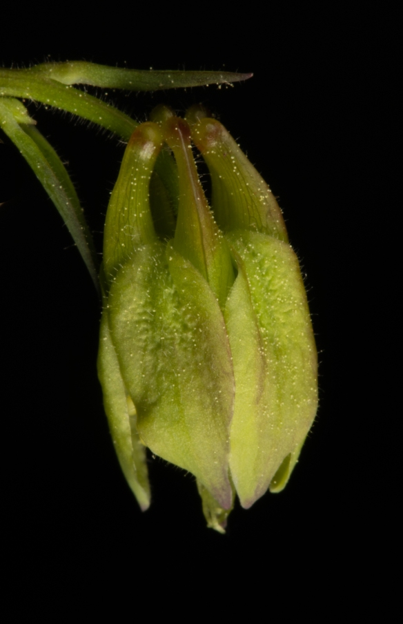 Columbine flower buds