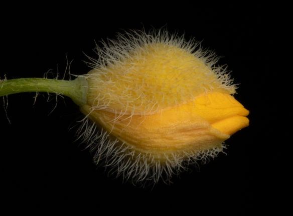 close up photo of a wood poppy flower bud with hairy sepals surrounding the yellow, unopened flower