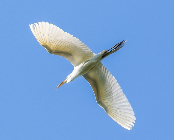 great egret overhead