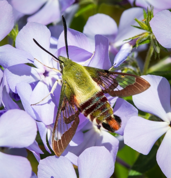 Hummingbird moth on phlox