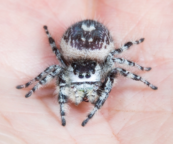 jumping spider in hand