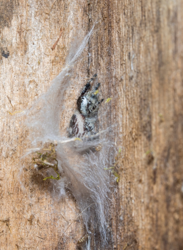 jumping spider inside bluebird box