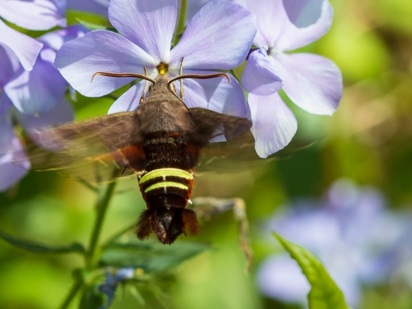 Nessus sphinx moth at phlox