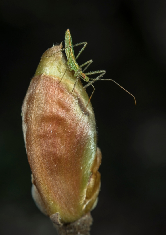 Pale green assassin bug on hickory bud