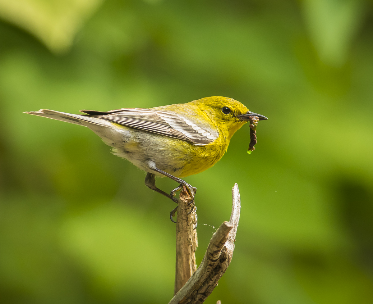 Pine warbler with caterpillar