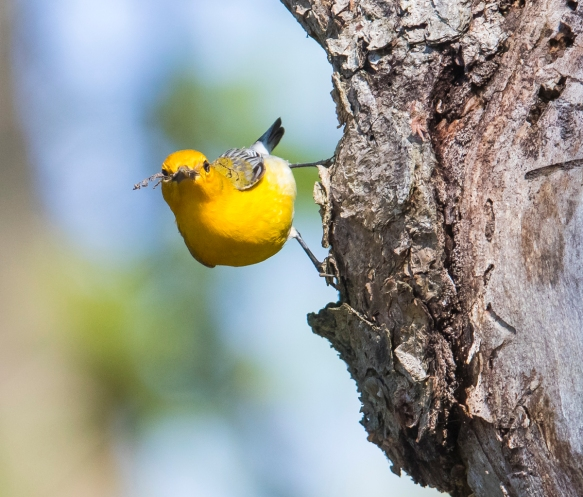 Prothonotary warbler gathring moss on cavity tree 1