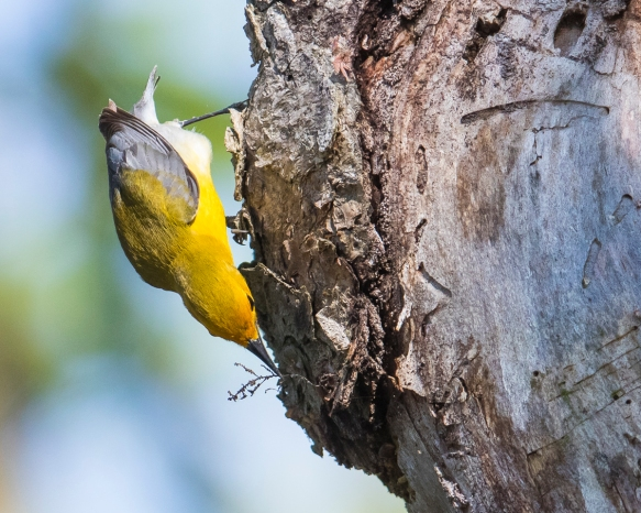 Prothonotary warbler gathring moss on cavity tree