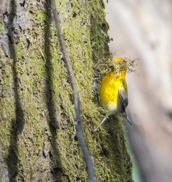 Prothonotary warbler gathring moss on nearby tree