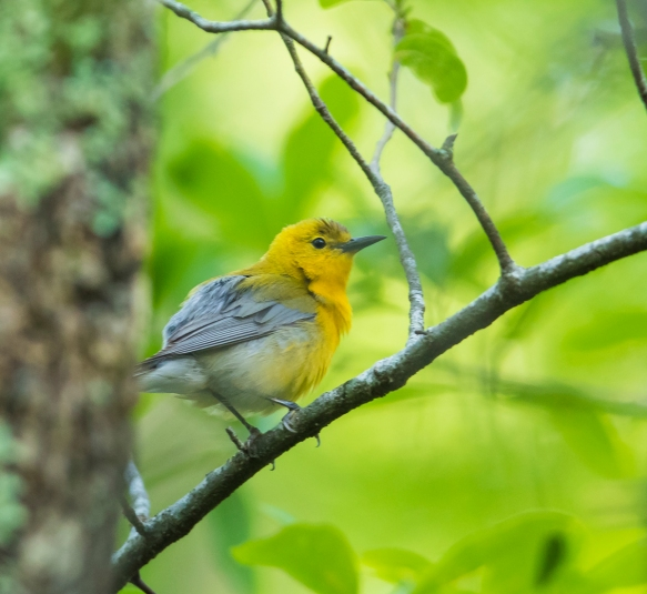 Prothonotary warbler in tree