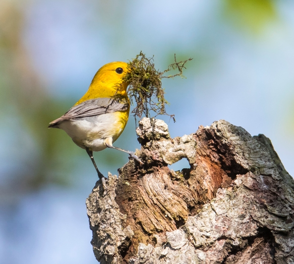 Prothonotary warbler with moss in bill