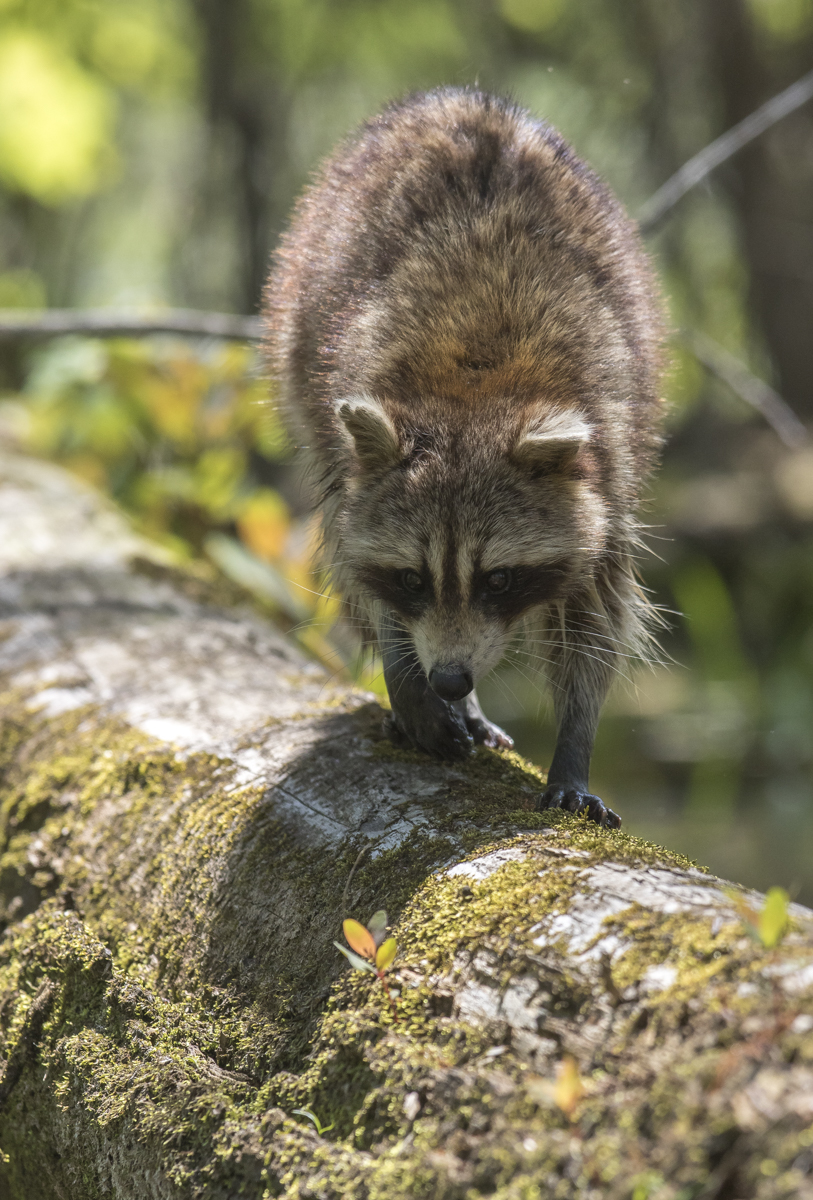 raccoon on log