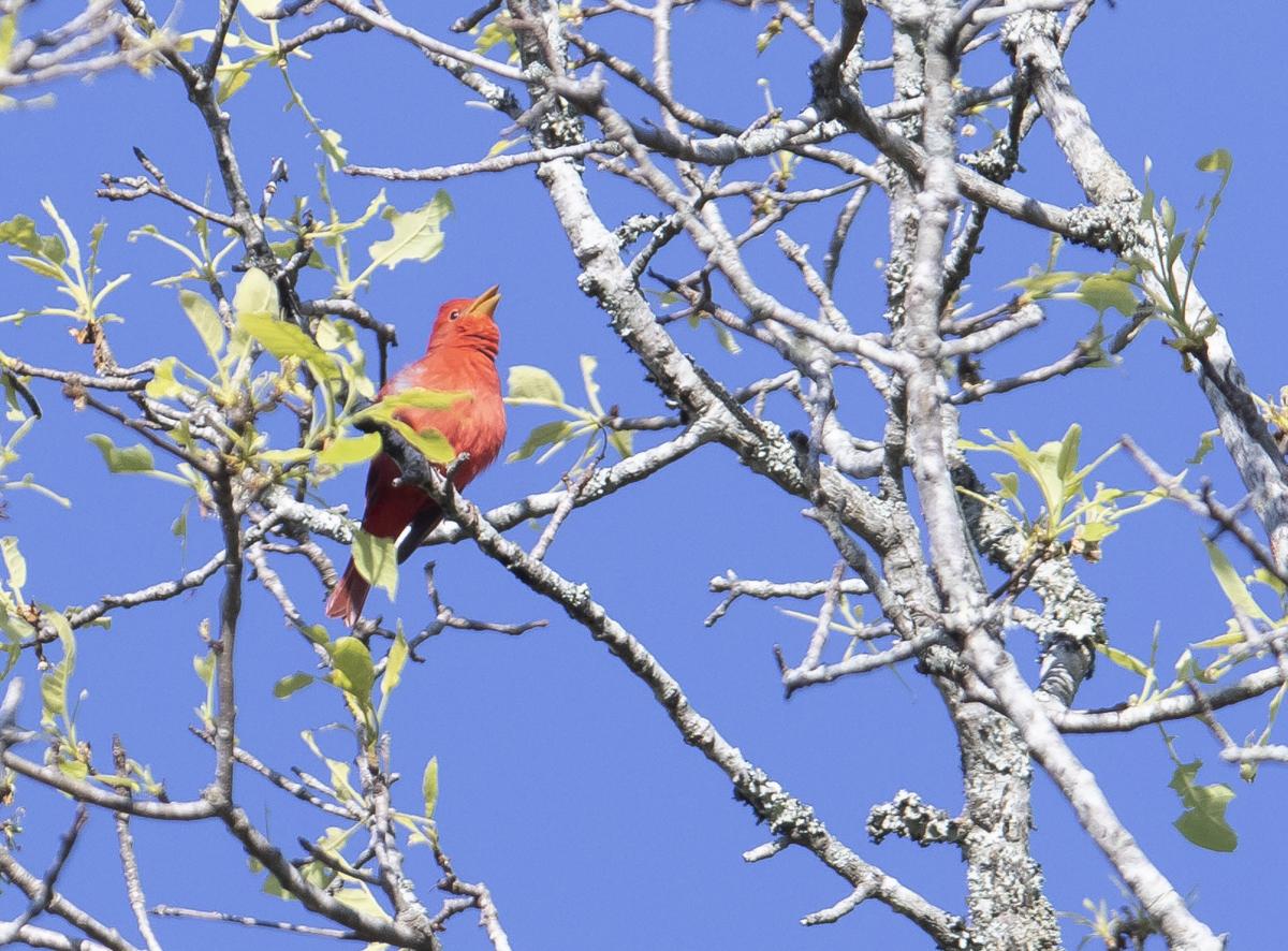 summer tanager singing