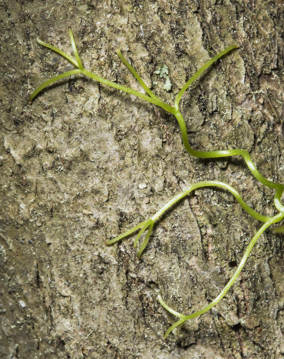 tendril tips of cross vine