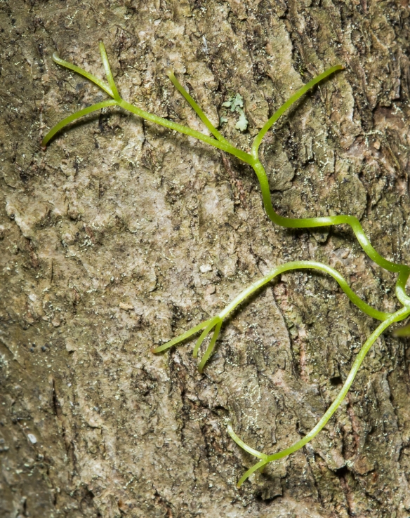 tendril tips of cross vine