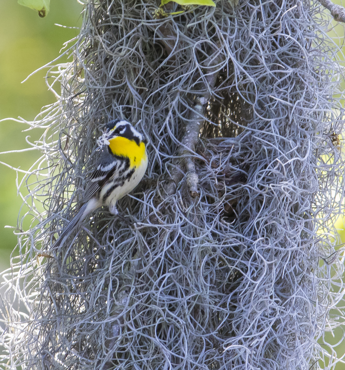 Yellow-throated warbler at nest in Spanish moss closer view
