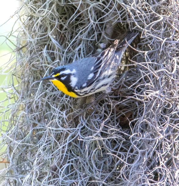 Yellow-throated warbler coming out of nest