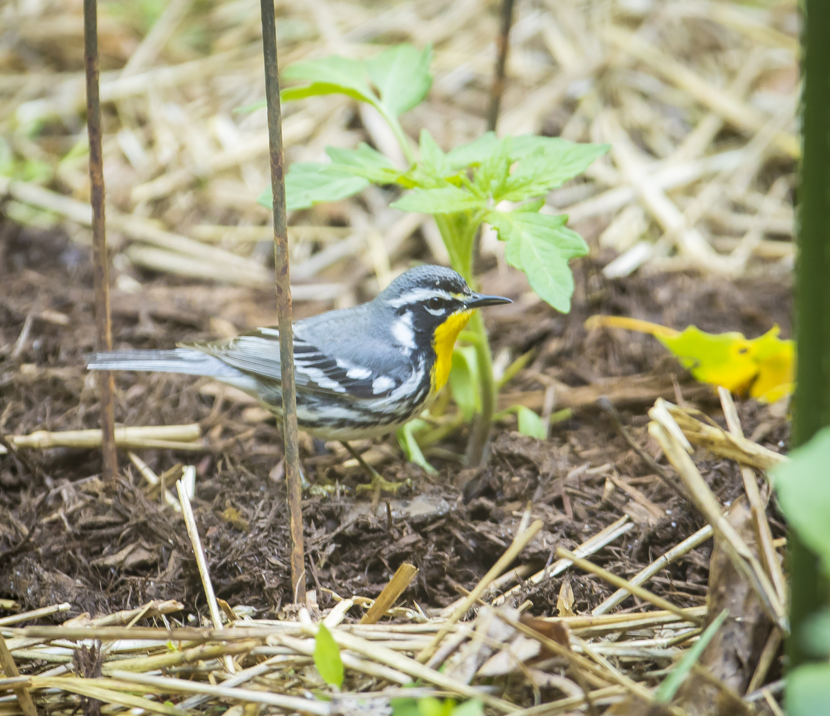 Yellow-throated warbler in yard