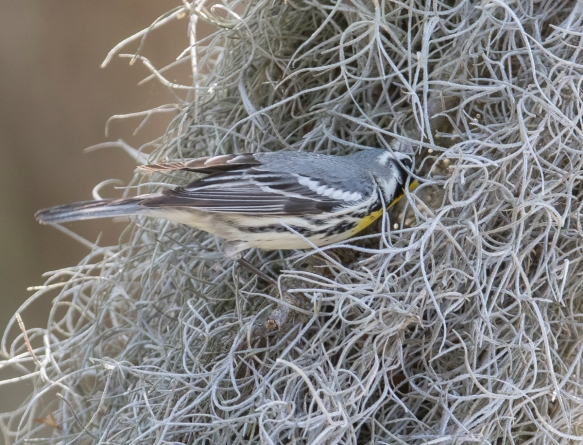 Yellow-throated warbler just going into nest