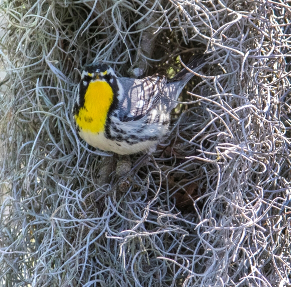 Yellow-throated warbler looking at us