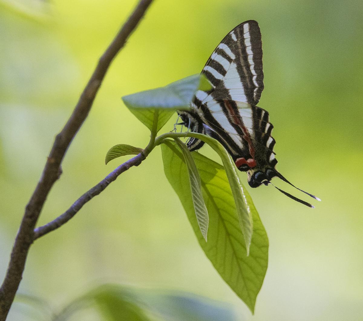 zebra swallowtail laying egg 1